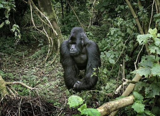 gorila_30112008_1